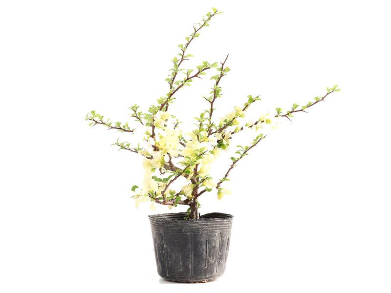 Chaenomeles speciosa, 27 cm, ± 5 jaar oud, met witte bloemen en gele vruchten