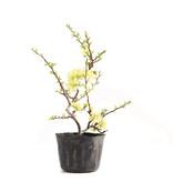 Chaenomeles speciosa, 27,5 cm, ± 5 jaar oud, met witte bloemen en gele vruchten