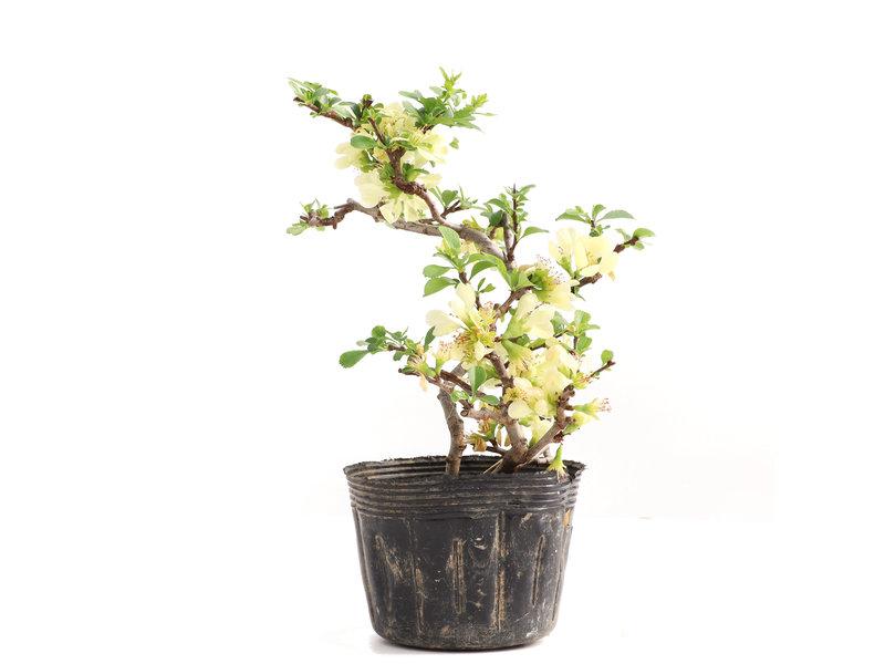 Chaenomeles speciosa, 19,5 cm, ± 5 jaar oud, met witte bloemen en gele vruchten