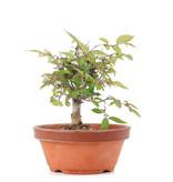 Zelkova serrata, 11,5 cm, ± 20 jaar oud