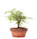 Zelkova serrata, 14 cm, ± 20 jaar oud