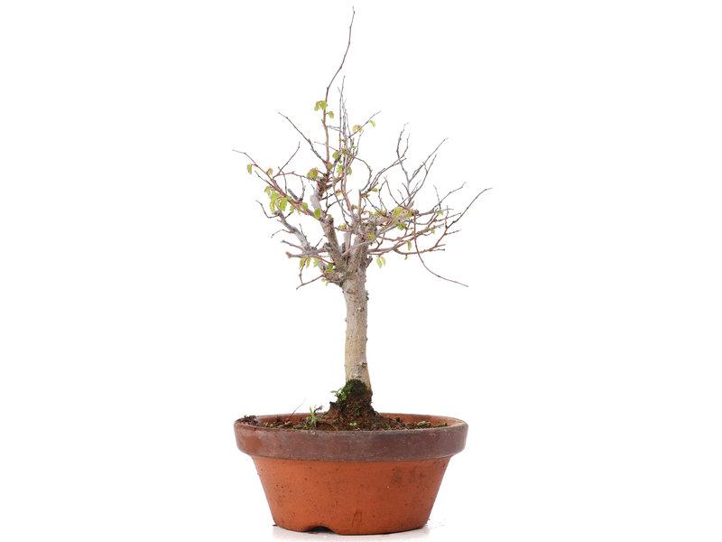 Zelkova serrata, 21,5 cm, ± 20 jaar oud