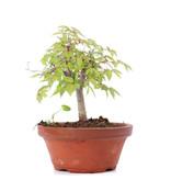 Zelkova serrata, 14,5 cm, ± 20 jaar oud