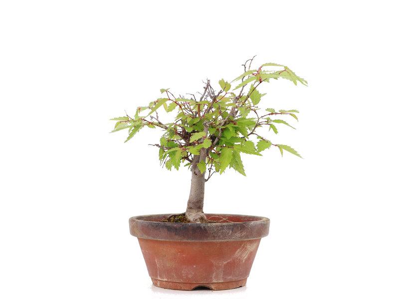 Zelkova serrata, 15 cm, ± 20 jaar oud