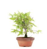 Zelkova serrata, 18,5 cm, ± 20 jaar oud