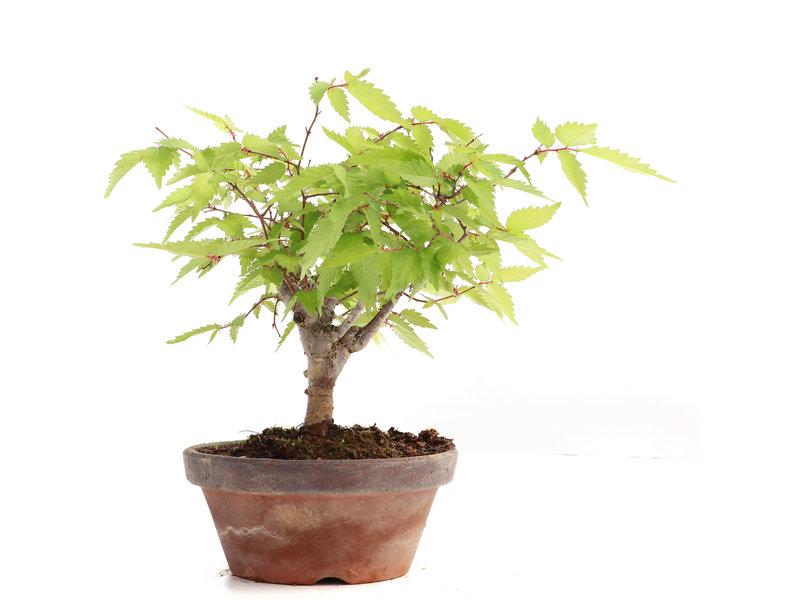 Zelkova serrata, 16 cm, ± 20 jaar oud