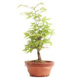 Zelkova serrata, 24 cm, ± 20 jaar oud