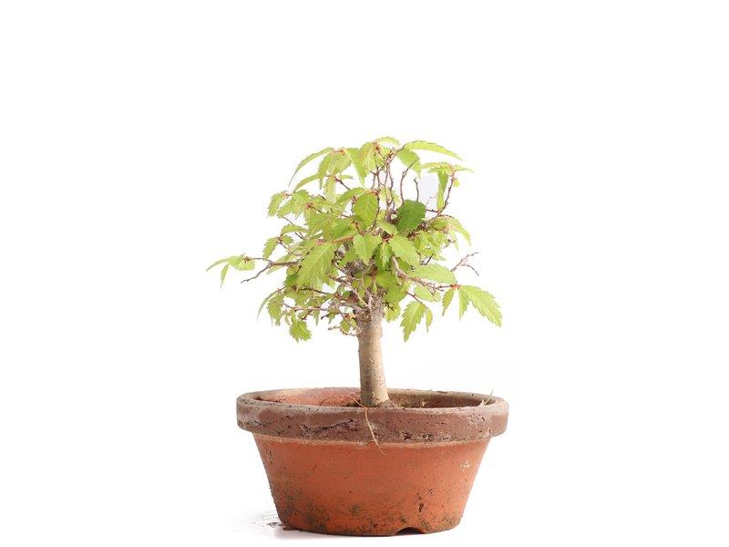 Zelkova serrata, 13 cm, ± 20 jaar oud