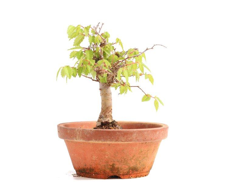 Zelkova serrata, 12,5 cm, ± 20 jaar oud