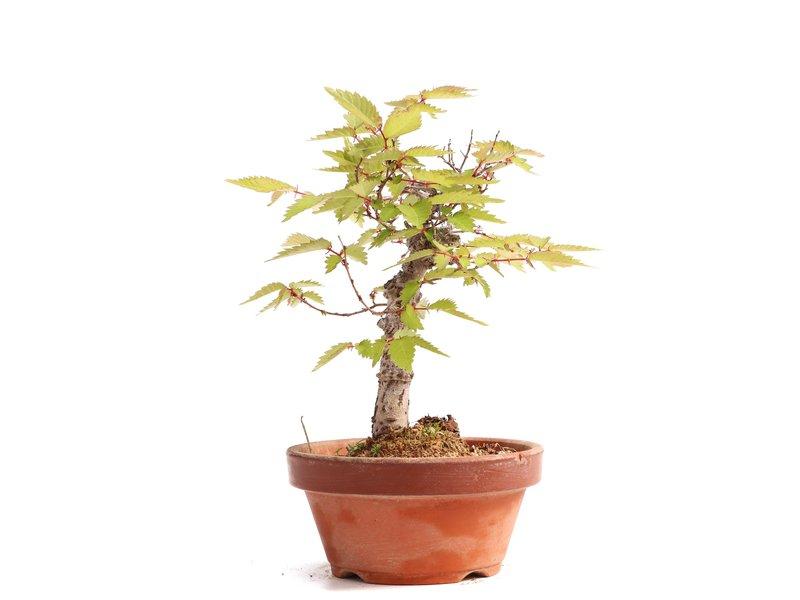 Zelkova serrata, 16,5 cm, ± 20 jaar oud