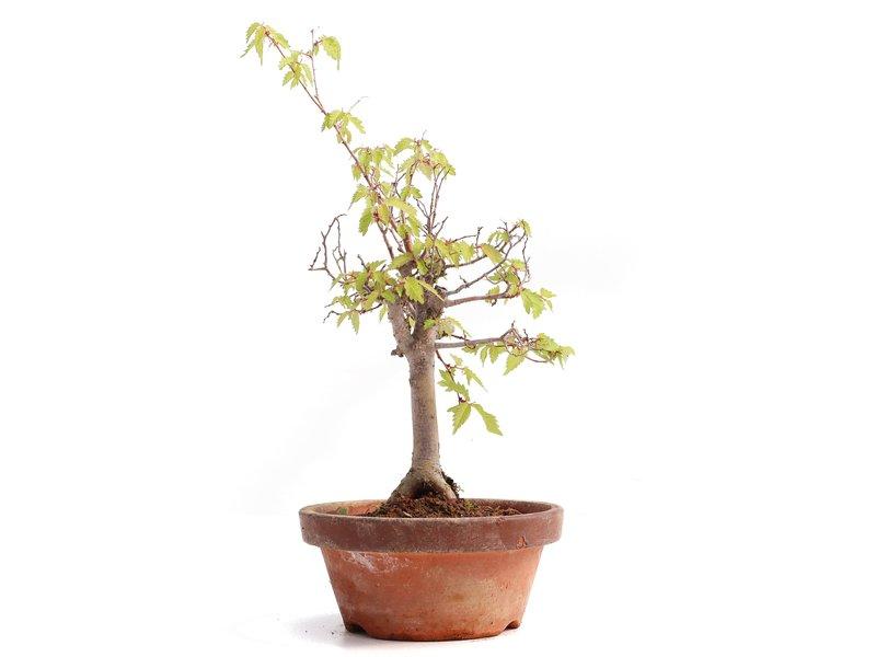 Zelkova serrata, 24,5 cm, ± 20 jaar oud