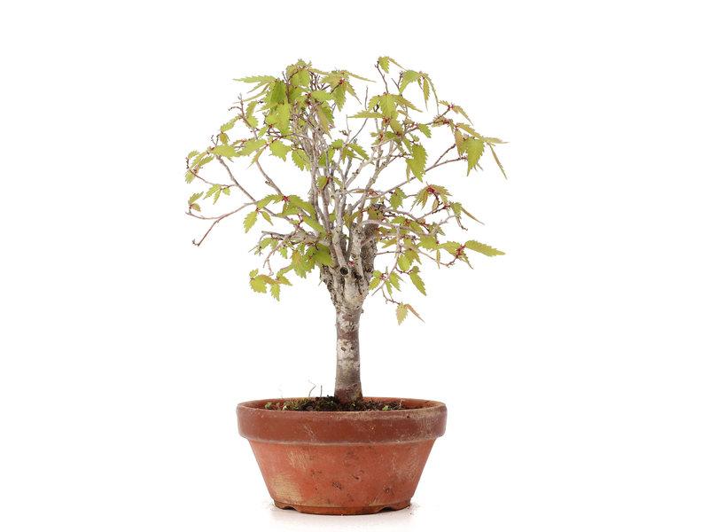 Zelkova serrata, 21 cm, ± 20 jaar oud