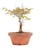 Zelkova serrata, 18 cm, ± 20 jaar oud