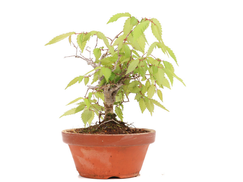 Zelkova serrata, 15,5 cm, ± 20 jaar oud