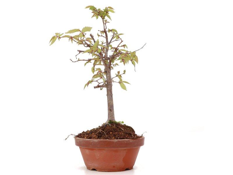 Zelkova serrata, 22 cm, ± 20 jaar oud