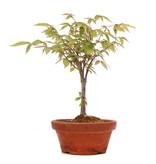 Zelkova serrata, 25 cm, ± 20 jaar oud
