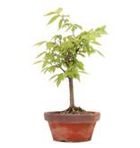 Zelkova serrata, 22,5 cm, ± 20 jaar oud