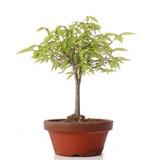 Zelkova serrata, 23 cm, ± 20 jaar oud