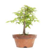 Zelkova serrata, 20 cm, ± 20 jaar oud