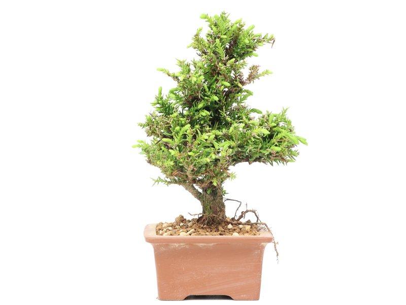 Cryptomeria japonica, 15 cm, ± 8 jaar oud