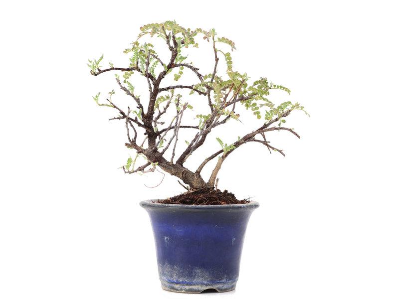 Osteomeles, 14 cm, ± 8 jaar oud, met witte bloemen en blauwe tot zwarte bessen