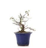 Osteomeles, 12,5 cm, ± 8 jaar oud, met witte bloemen en blauwe tot zwarte bessen