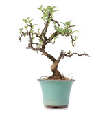 Osteomeles, 17,5 cm, ± 8 years old, with white flowers and blue to black berries