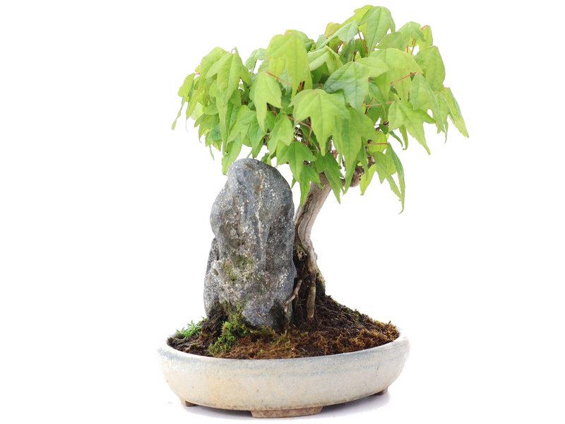Acer buergerianum, 15 cm, ± 15 jaar oud