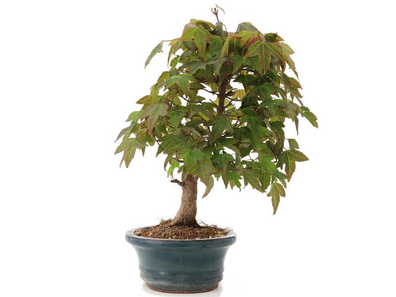Acer buergerianum, 25 cm, ± 15 jaar oud