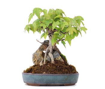Acer buergerianum, 17 cm, ± 15 años