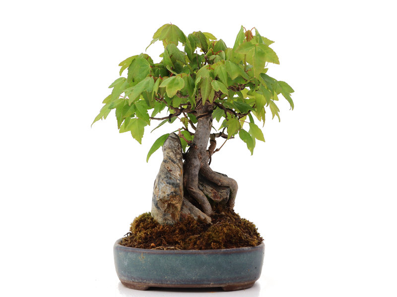 Acer buergerianum, 17 cm, ± 15 years old