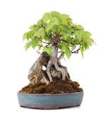 Acer buergerianum, 17 cm, ± 15 jaar oud