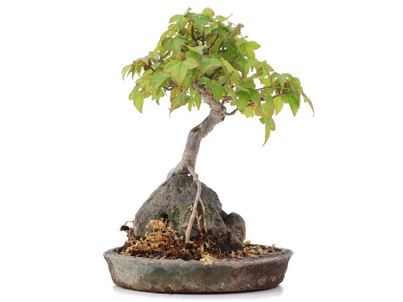 Acer buergerianum, 19,5 cm, ± 15 jaar oud, in handgemaakte pot