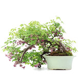 Akebia quinata, 35 cm, ± 25 years old, with purple flowers and green fruits