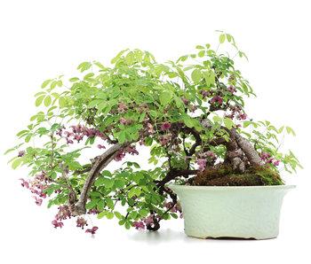 Akebia quinata, 35 cm, ± 25 jaar oud