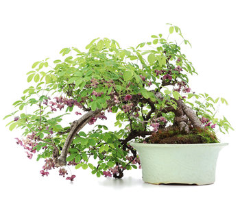 Akebia quinata, 35 cm, ± 25 years old