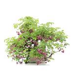 Akebia quinata, 35 cm, ± 25 jaar oud, met paarse bloemen en groene vruchten
