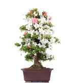 Rhododendron indicum Koka, 94 cm, ± 30 jaar oud, met een nebari van 19 cm