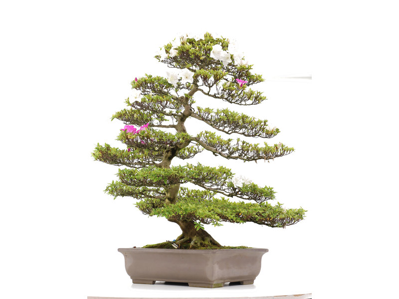 Rhododendron indicum Ai-No-Tuki, 101 cm, ± 30 jaar oud
