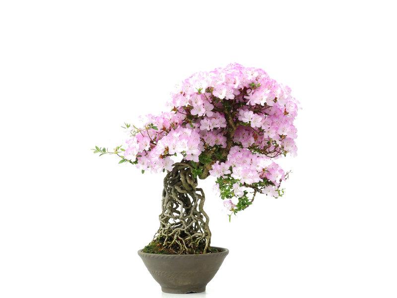 Rhododendron indicum, 50 cm, ± 25 jaar oud, met lila bloemen