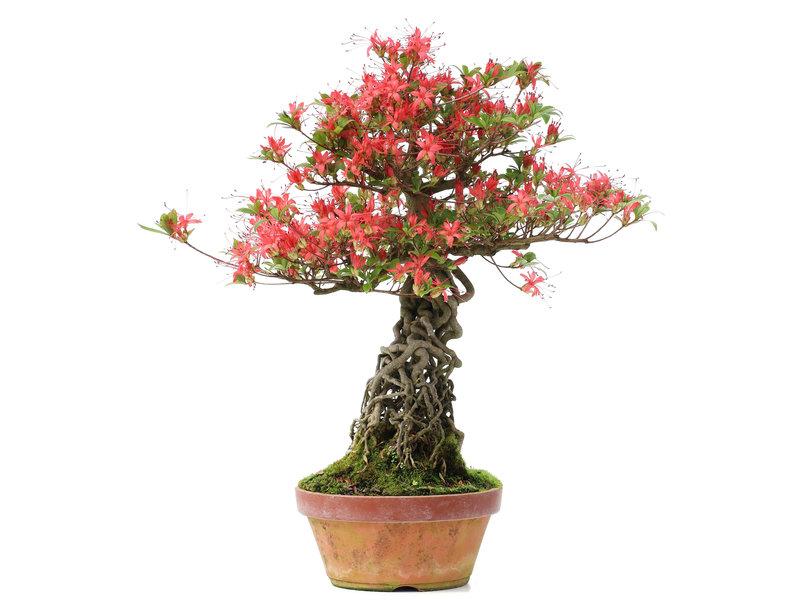 Rhododendron indicum, 50 cm, ± 25 jaar oud, met koraalrode bloemen