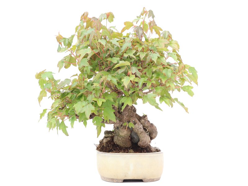 Acer buergerianum, 22 cm, ± 15 jaar oud