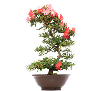 Rhododendron indicum Koyo, 91 cm, ± 15 ans