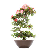 Rhododendron indicum Koyo, 91 cm, ± 15 years old