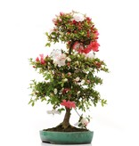 Rhododendron indicum Meityo, 91 cm, ± 15 jaar, in gebroken pot
