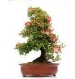 Rhododendron indicum Kougetu, 76 cm, ± 25 jaar oud, met een nebari van 21 cm