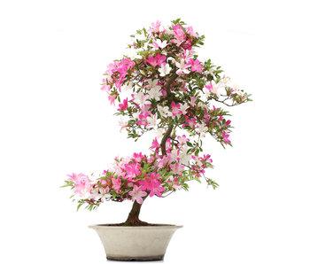 Rhododendron indicum Asuka, 86 cm, ± 15 Jahre alt