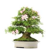 Rhododendron indicum Bunka, 53,5 cm, ± 25 jaar oud
