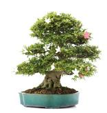 Rhododendron indicum Tensyo, 51,5 cm, ± 25 jaar oud, met een nebari van 15,5 cm