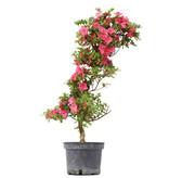Rhododendron indicum, 74 cm, ± 5 jaar oud, met roze bloemen